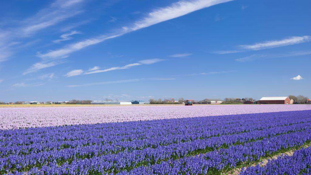 Hyacint bloemenvelden Lisse Keukenhof Bollenstreek