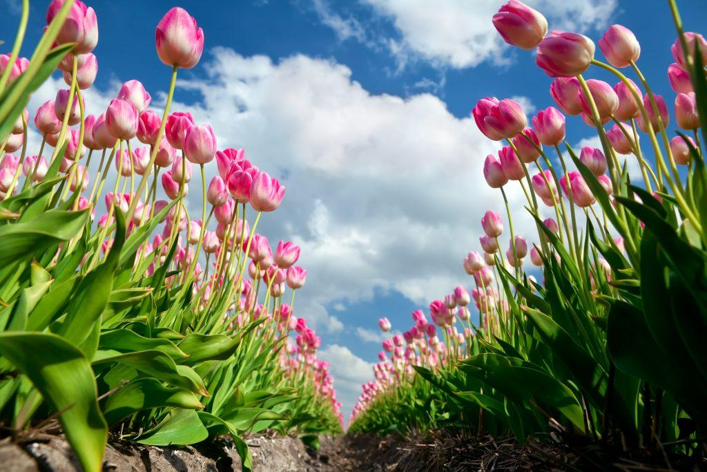 Tulpenvelden in bloei Keukenhof Lisse Bollenstreek