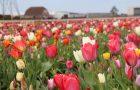 Waar staan de bloeiende bloemenvelden in mei?