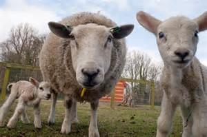 schapenscheerfeest