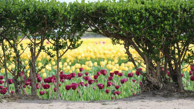Bloei update en verwachting bloemenvelden – 26 april 2018