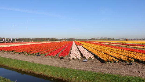 Bloei update en verwachting bloemenvelden – 19 april 2018